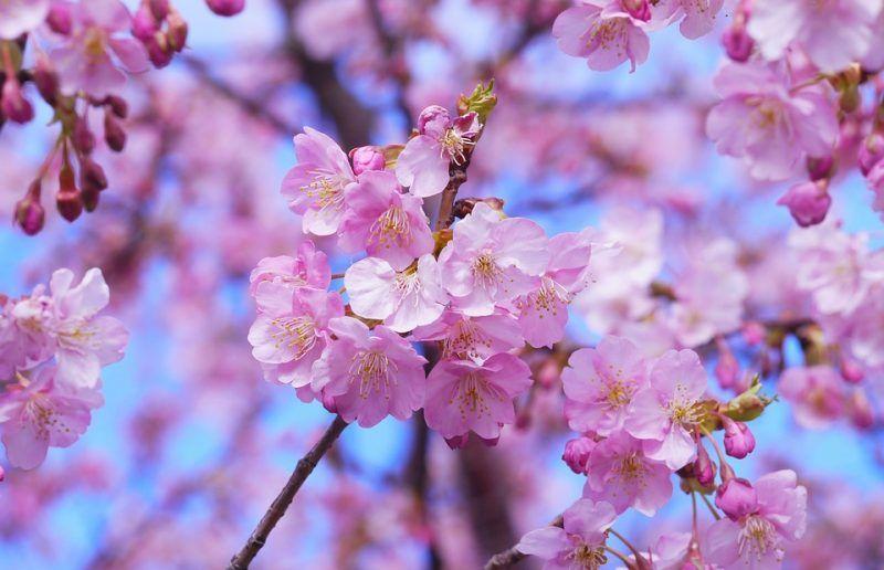 Lịch hoa anh đào nở tại Hàn Quốc 2019